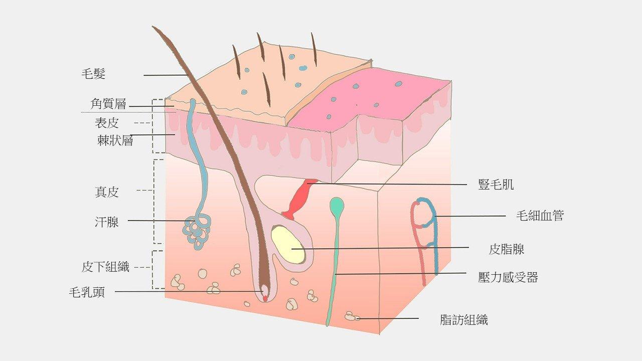 超詳細皮膚構造與功能